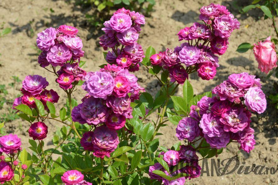 roses_urban_divaro_3