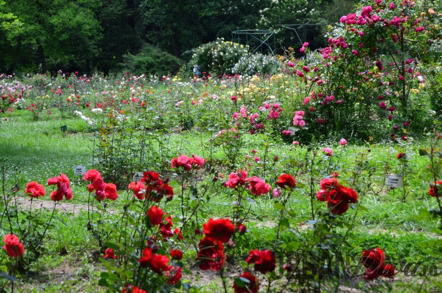 roses_urban_divaro_33