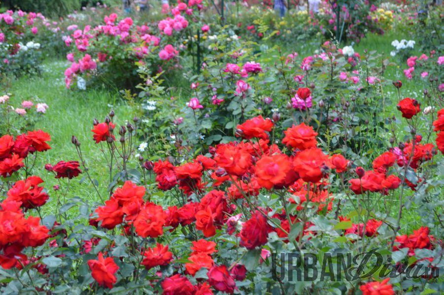 roses_urban_divaro_34