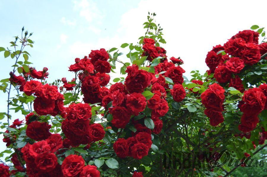 roses_urban_divaro_3qq