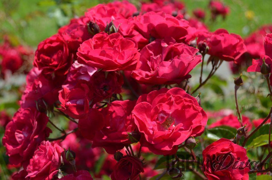 roses_urban_divaro_4