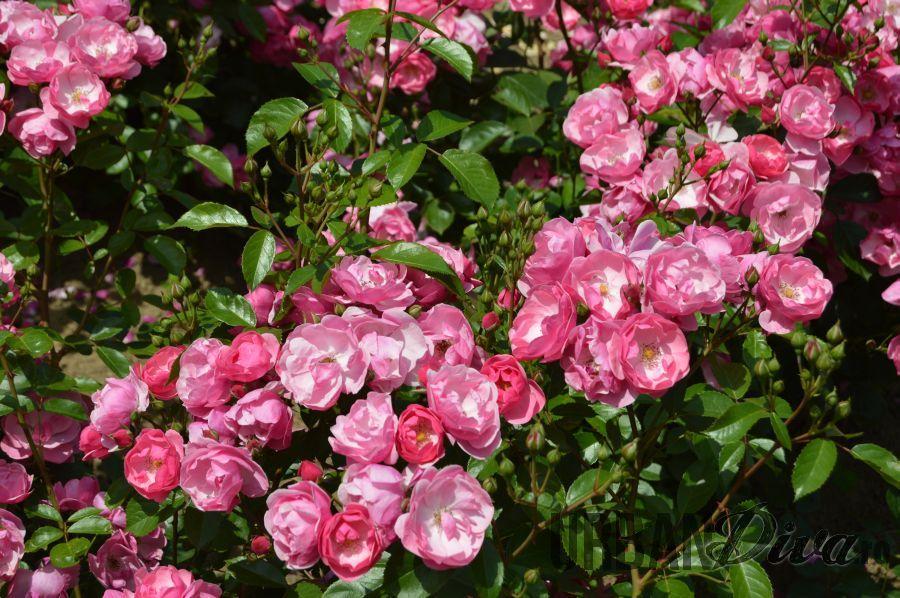 roses_urban_divaro_5