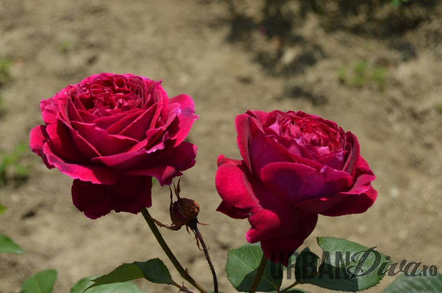 roses_urban_divaro_55