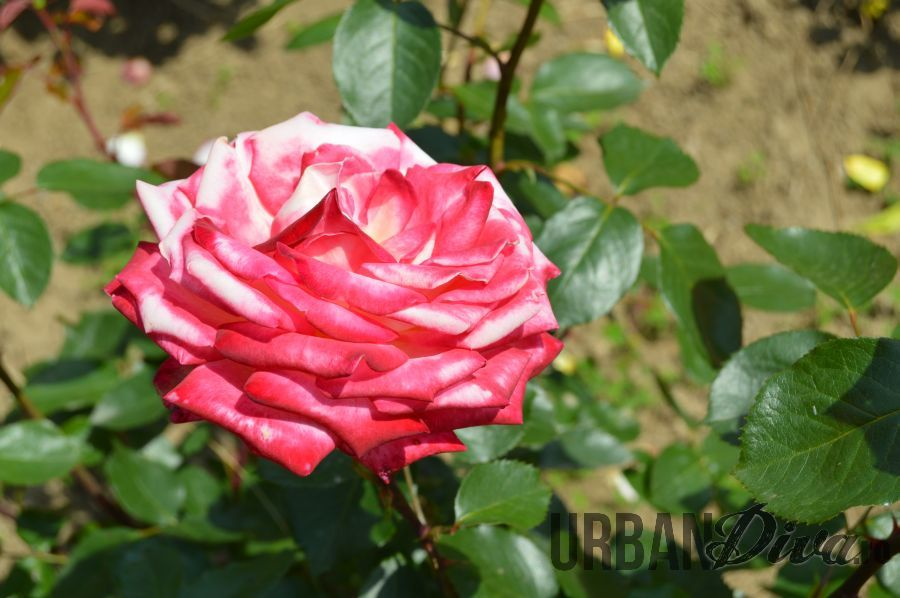 roses_urban_divaro_88