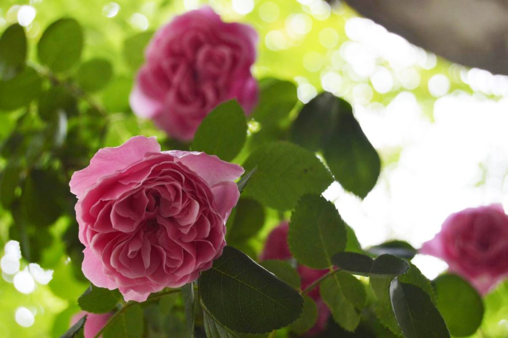 trandafir_frantuzesc1