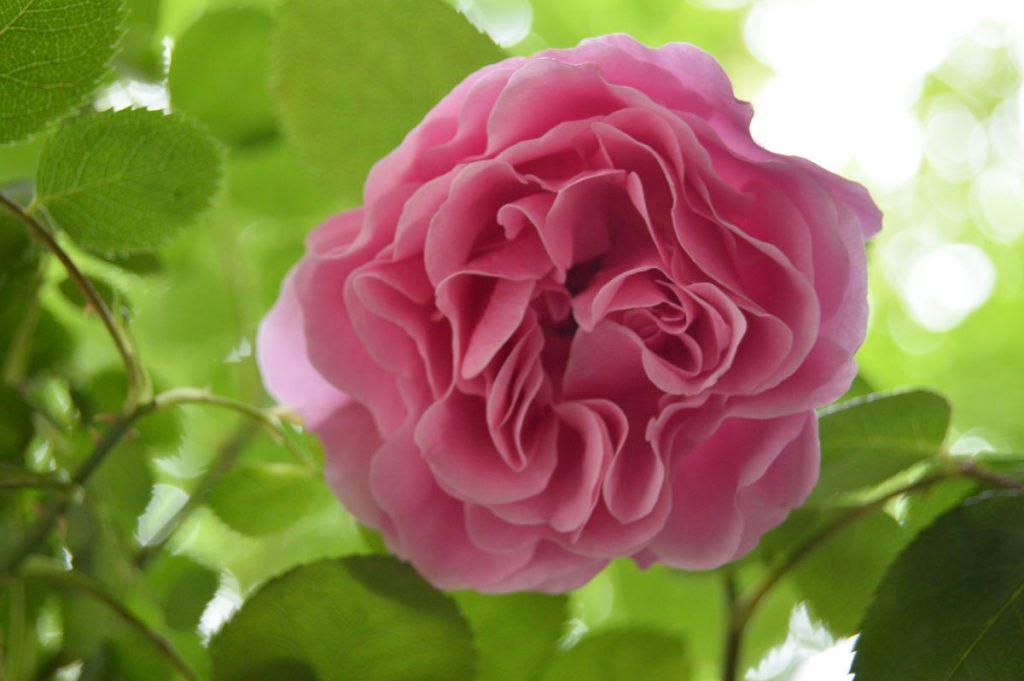 trandafir_frantuzesc55