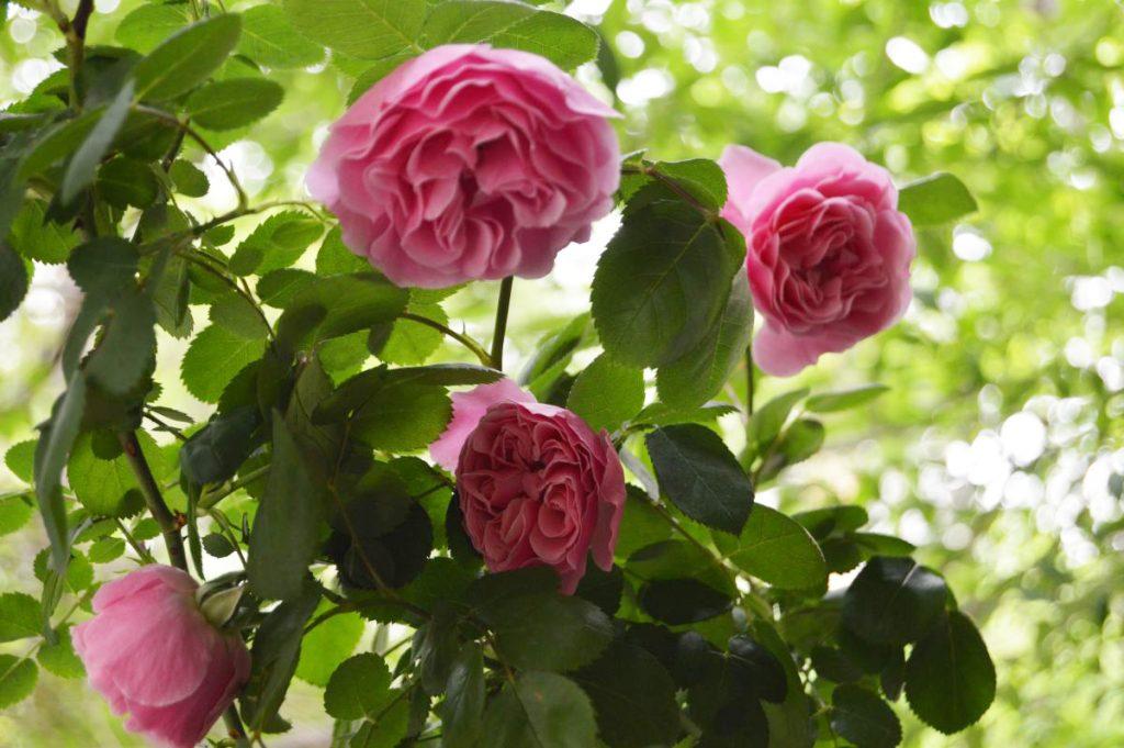trandafir_frantuzesc575
