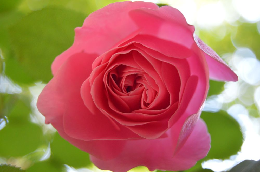 trandafir_frantuzesc_leonardodavinci