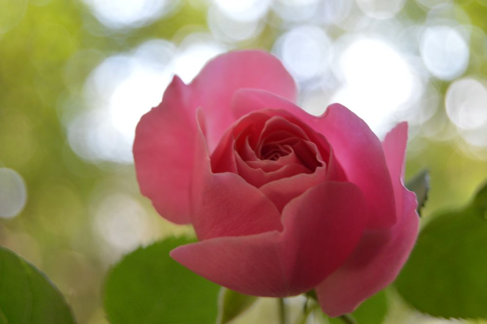trandafir_leodarddavinci