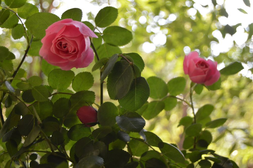 trandafir_leodarddavinci088