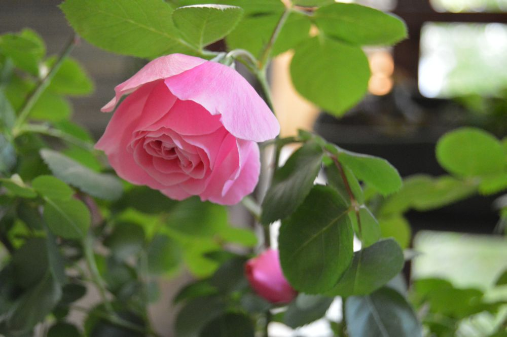 trandafir_leodarddavinci09