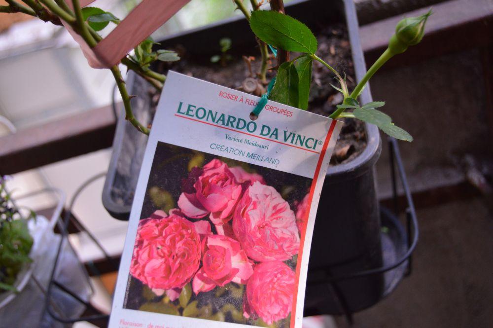 trandafir_leodarddavinci2