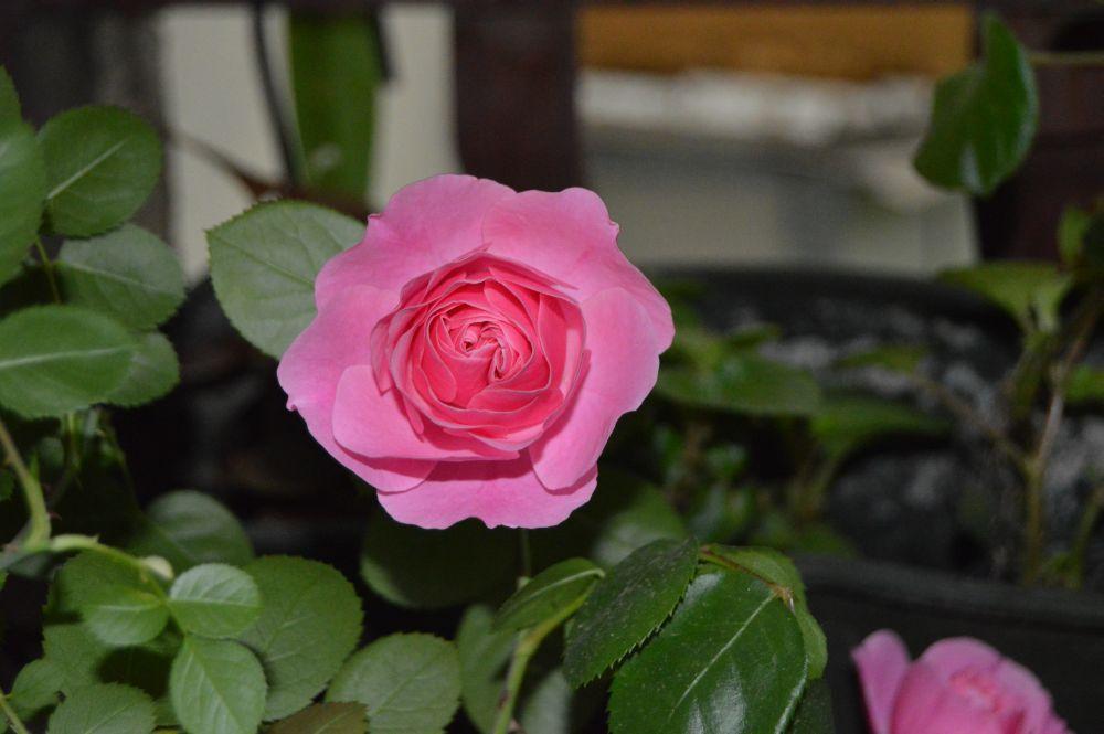 trandafir_leodarddavinci3