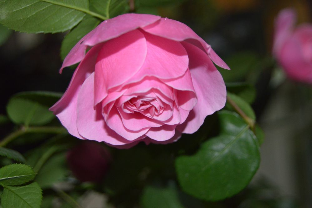 trandafir_leodarddavinci4