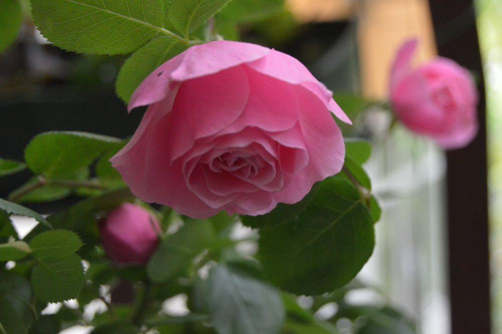 trandafir_leodarddavinci5