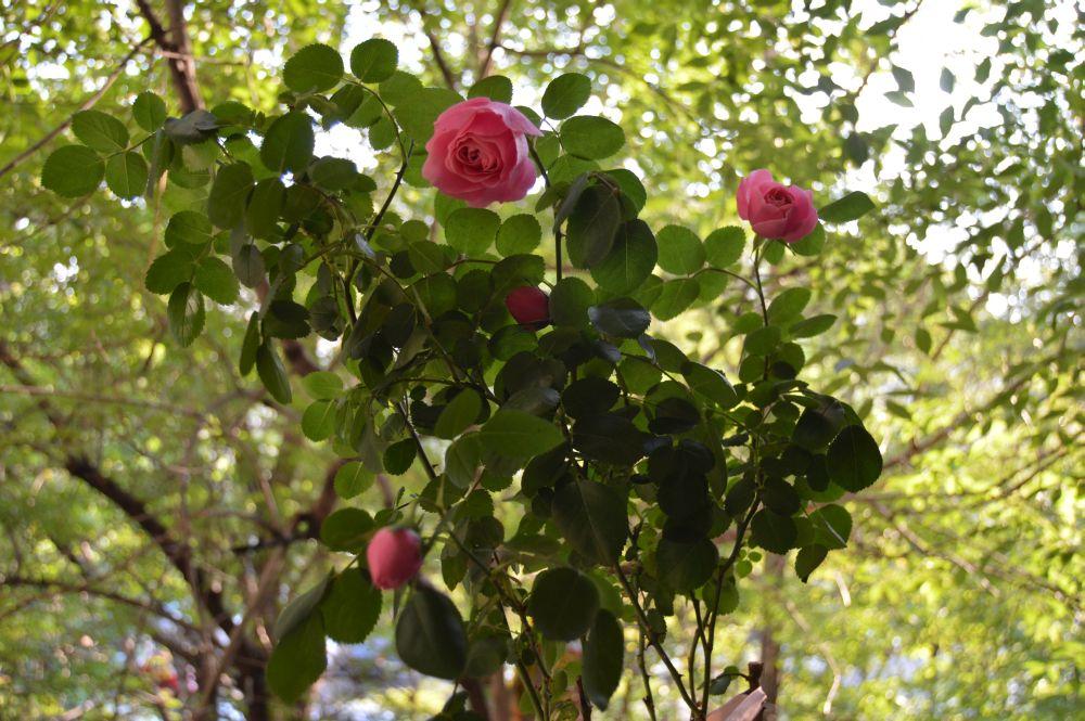 trandafir_leodarddavinci52
