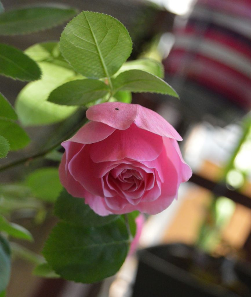 trandafir_leodarddavinci59