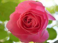 Trandafirul meu, Leonardo da Vinci, a crescut și înflorit după o iarnă în ghiveci, pe balcon
